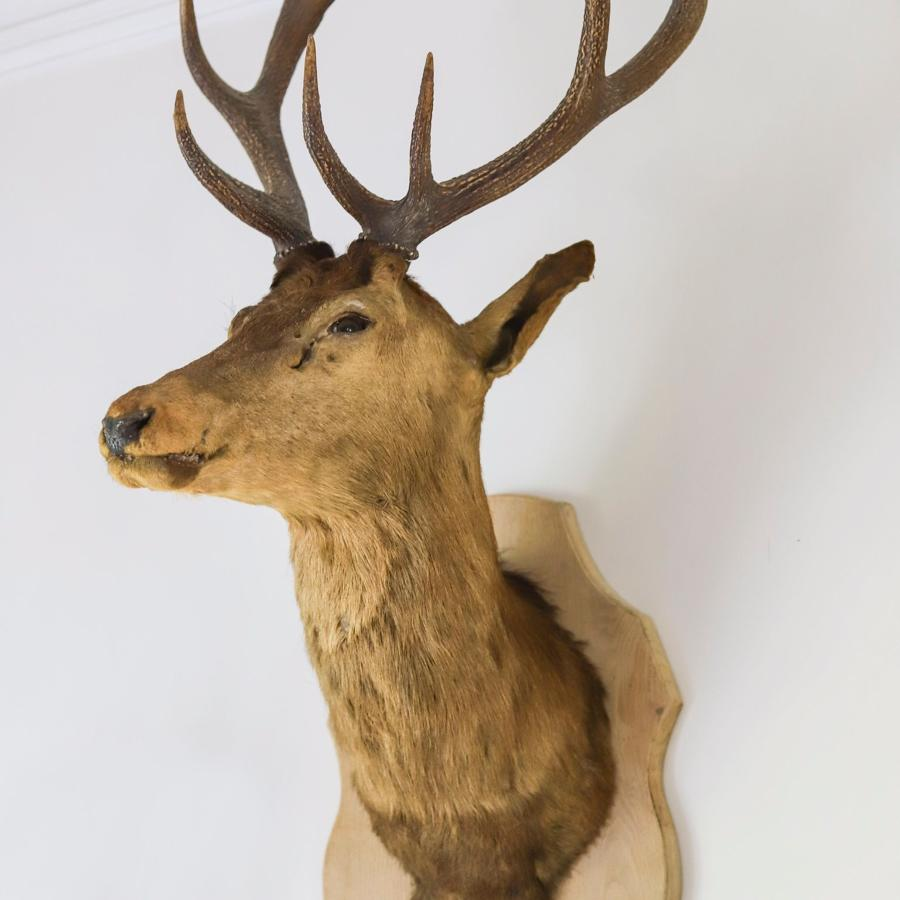 French antique stag's head taxidermy